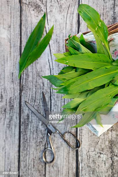 Basket of wild garlic (Allium ursinum) and scissors on grey wooden table, view from above