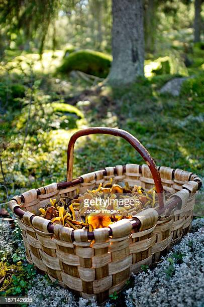 Basket with chanterelles in forest