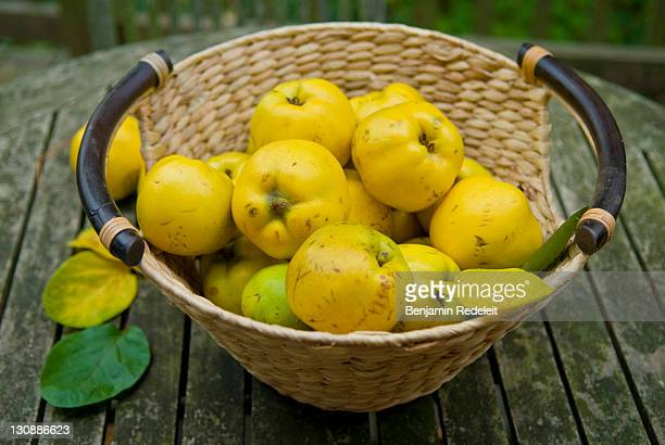 Basket with freshly harvested quinces (Cydonia oblonga)