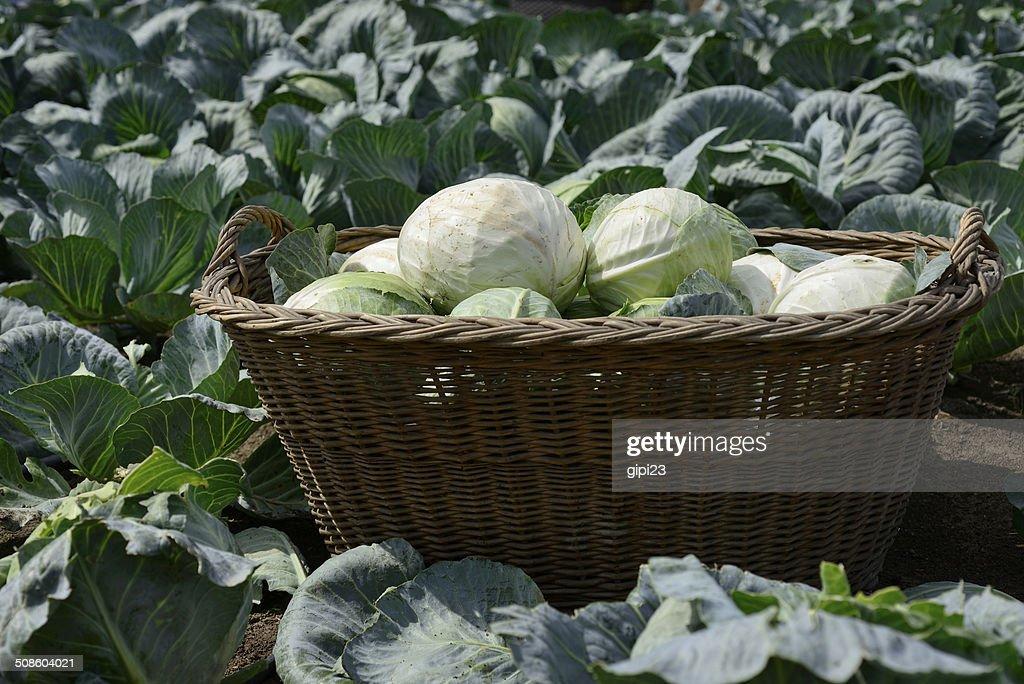 Basketful de Repolho : Foto de stock