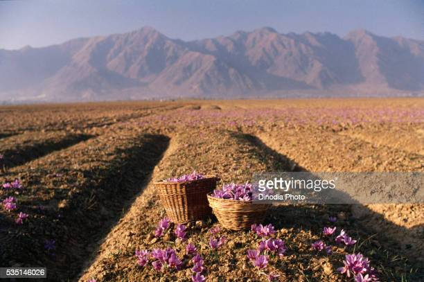 Baskets filled with saffron flowers in a field in Jammu and Kashmir, India