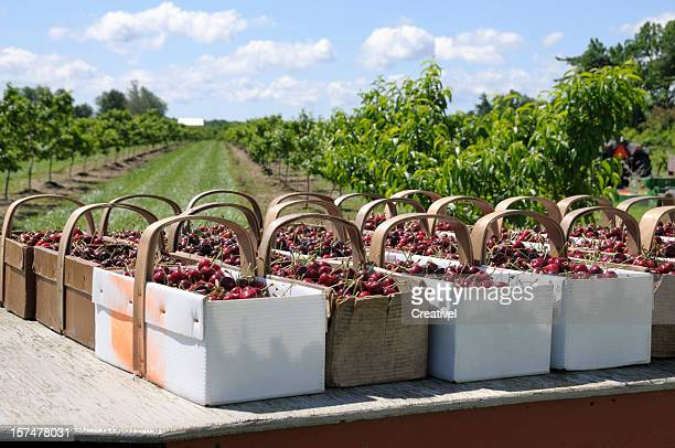 Baskets of freshly picked cherries
