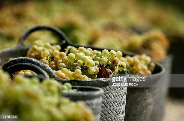 Baskets of grapes wait to be collected at a vineyard in Jerez to make sherry a fortified wine 31 August 2006 Sherry is a type of wine originally...