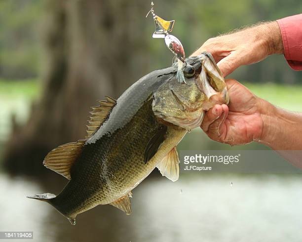 Bass Action - LargeMouth as it's Caught
