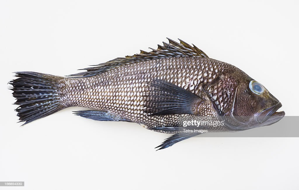 Bass fish, studio shot : Stock Photo