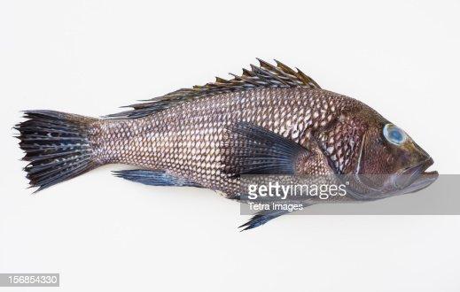 Bass fish, studio shot