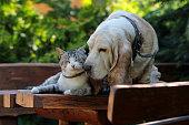 Basset hound dog and kitten friends.