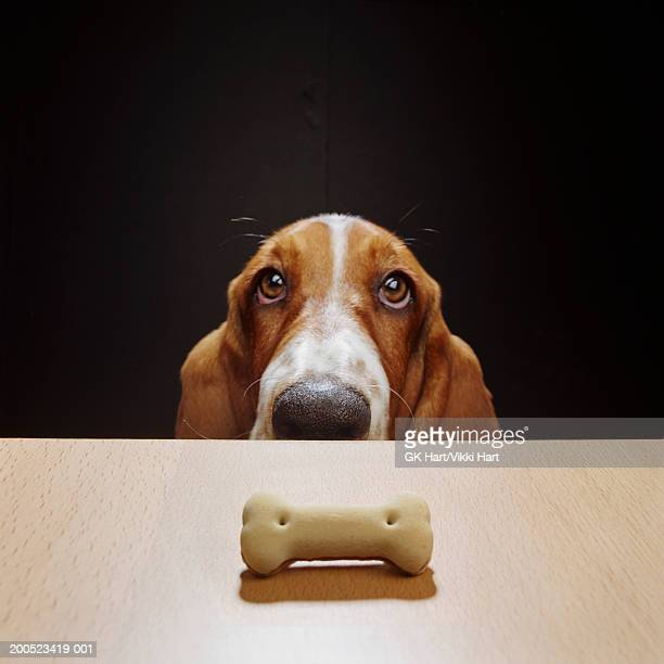 Basset hound looking at treat bone on wood table, high section