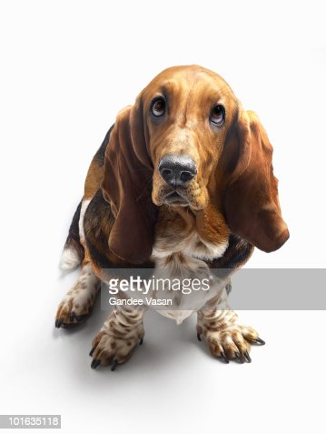 Basset Hound looking up : Stockfoto
