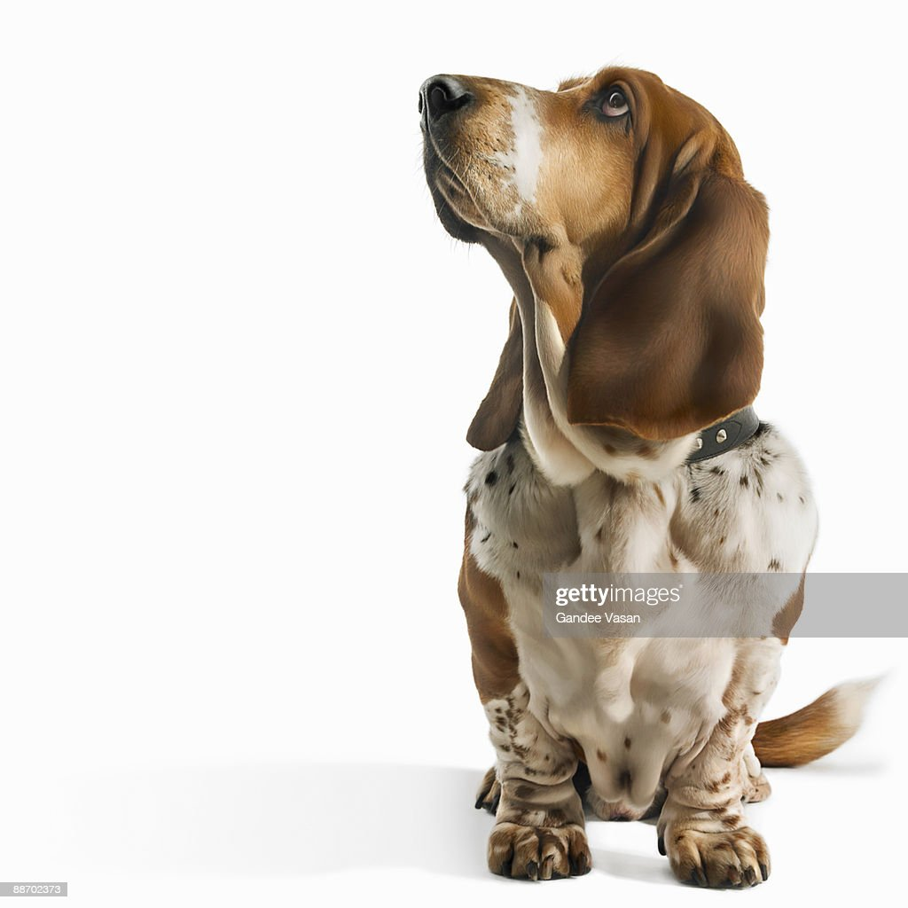 Basset Hound looking up : Stock Photo
