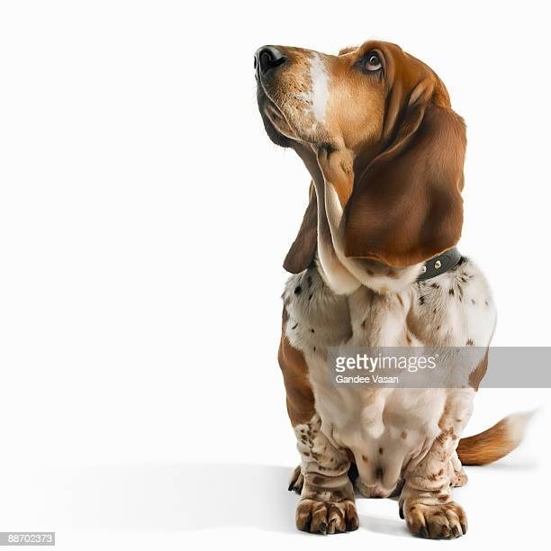 Basset Hound looking up