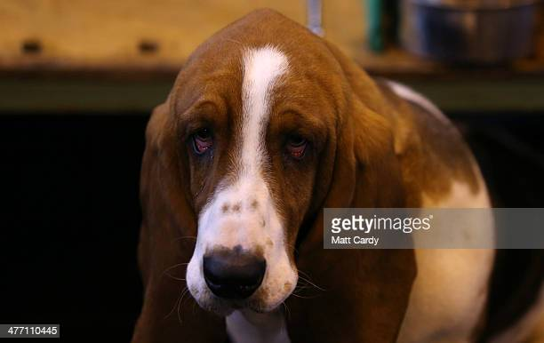 Basset Hound looks from its kennel on the second day of the Crufts dog show at the NEC on March 7 2014 in Birmingham England Said to be the largest...