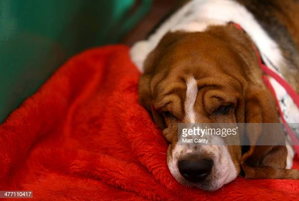 Basset Hound sleeps in its kennel on the second day of the Crufts dog show at the NEC on March 7 2014 in Birmingham England Said to be the largest...