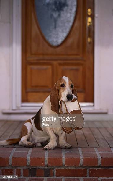 Basset Hound Waiting With Owner's Slippers