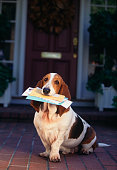Basset Hound with Mail in Mouth on Front Porch