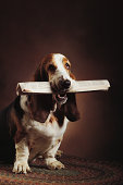 Basset hound with newspaper in mouth