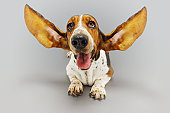Basset Hound with Outstretched Ears