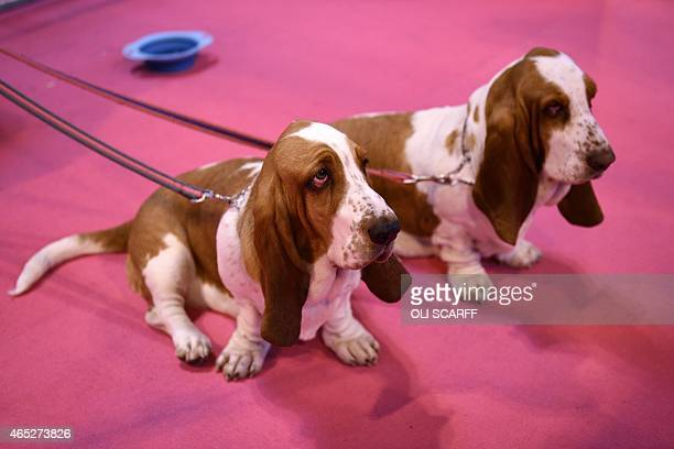 Basset Hounds are pictured on the first day of the Crufts dog show at the National Exhibition Centre in Birmingham central England on March 5 2015...