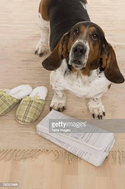 Bassett hound fetching slippers and newspaper