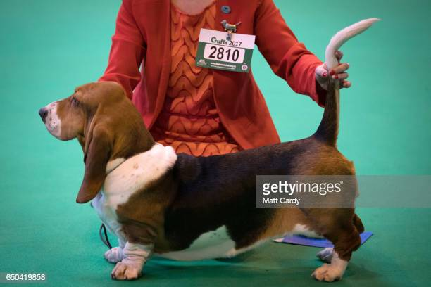 Bassett Hounds are judged in a show ring on the first day of Crufts Dog Show at the NEC Arena on March 09 2017 in Birmingham England First held in...