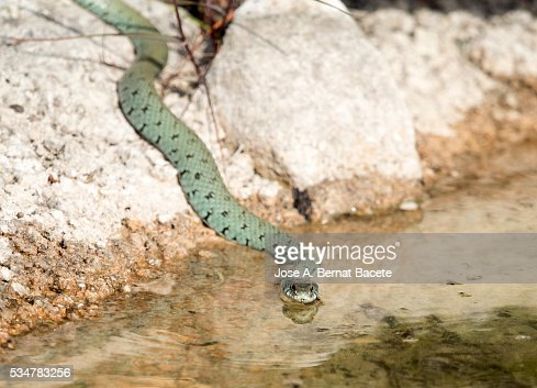 Bastard snake or of Montpellier (Malpolon monspessulanus) , drinking in a water puddle