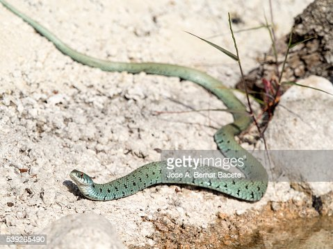 Bastard snake or of Montpellier (Malpolon monspessulanus) , slithering near a puddle of water after drinking