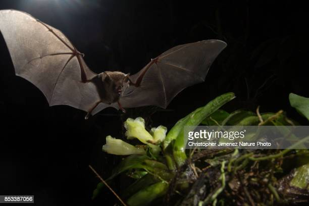 Bat feeding from orchid flower during the night extending its wing