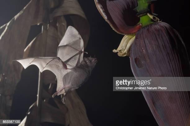 Bat feeding on banana flower during the night in the rainforest