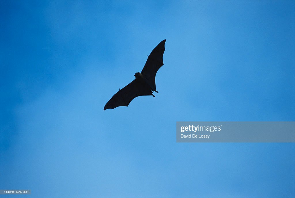Bat flying in sky, low angle view : Stock Photo