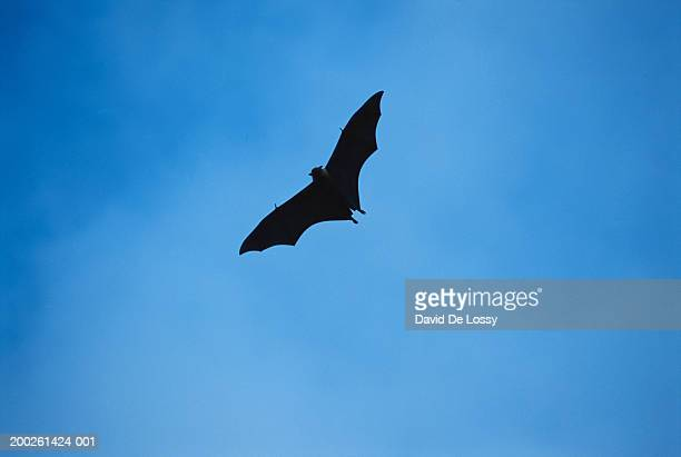 Bat flying in sky, low angle view