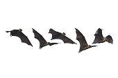 Bat flying isolated on white background (Lyle's flying fox)