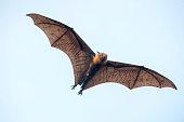 Bat flying on sky