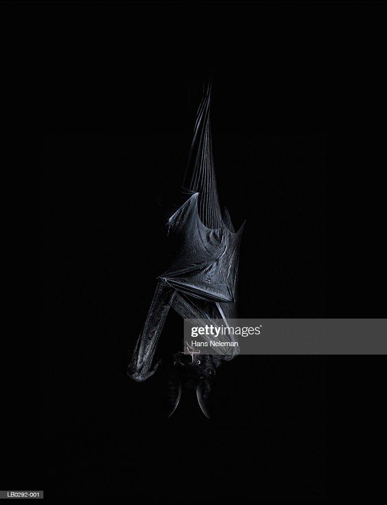 Bat hanging upside down : Stock Photo