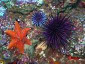 Orange Bat Star with Purple Sea Urchins found off of central California's Channel Islands