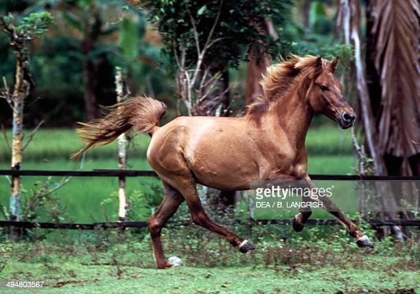 Batak pony Equidae