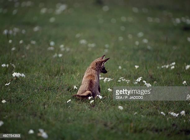 Bateared Fox Canidae Masai Mara National Reserve Kenya