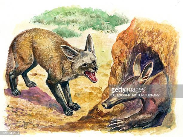 Bateared Fox trying to get into a termite mound which was discovered by an aardvark illustration