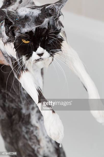 Bath or shower to a Persian breed cat