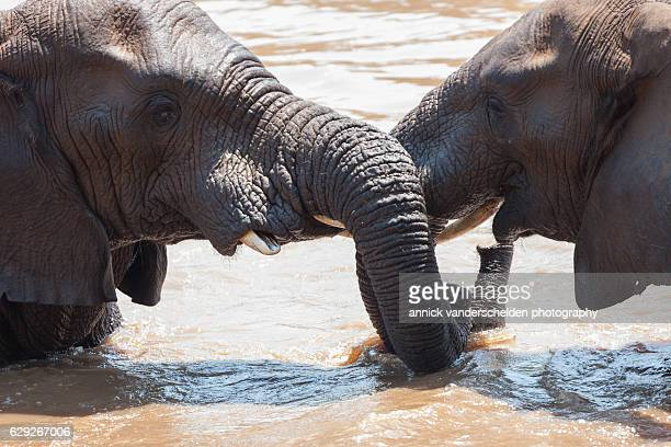 Bathing African elephant (Loxodonta africana).