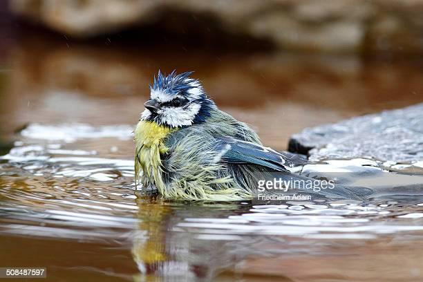 Bathing Blue Tit -Parus caeruleus-, Neunkirchen in Siegerland, North Rhine-Westphalia, Germany, Europe