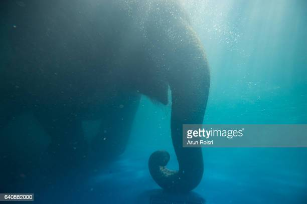Bathing Elephant Underwater. Asian elephant in swimming pool with sun-rays and ripples at water surface.