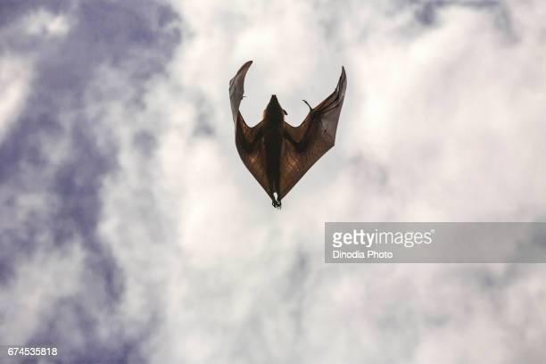Bats flying, kutch, gujarat, india, asia