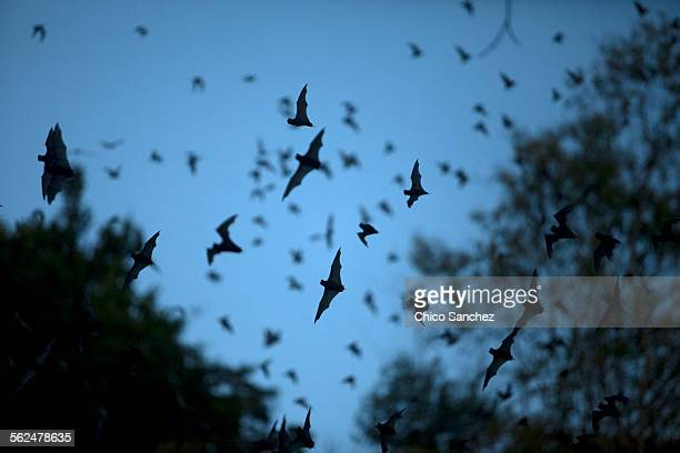 Bats leave a cave in Calakmul Biosphere Reserve, Campeche state, Yucatan Peninsula, Mexico