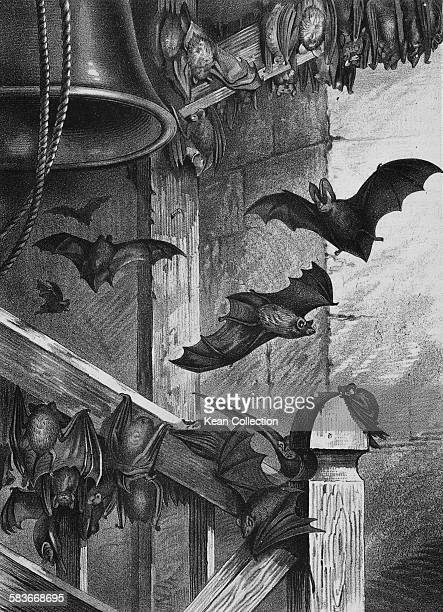 Bats nesting in a belfry in a book illustration entitled 'Bats At Home' UK circa 1890