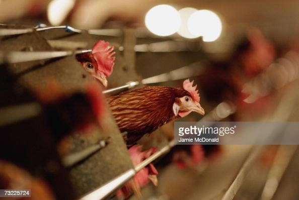 Battery hens sit in a chicken shed on February 6 2007 in Suffolk England Russia Ireland Hong Kong Japan South Korea and South Africa have announced...