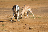 The battle of two Grant Gazelles in the savannah of Kenya