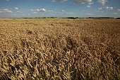 Wheat fields covering the battlefield of the Battle of Waterloo (1815) near Brussels, Belgium.