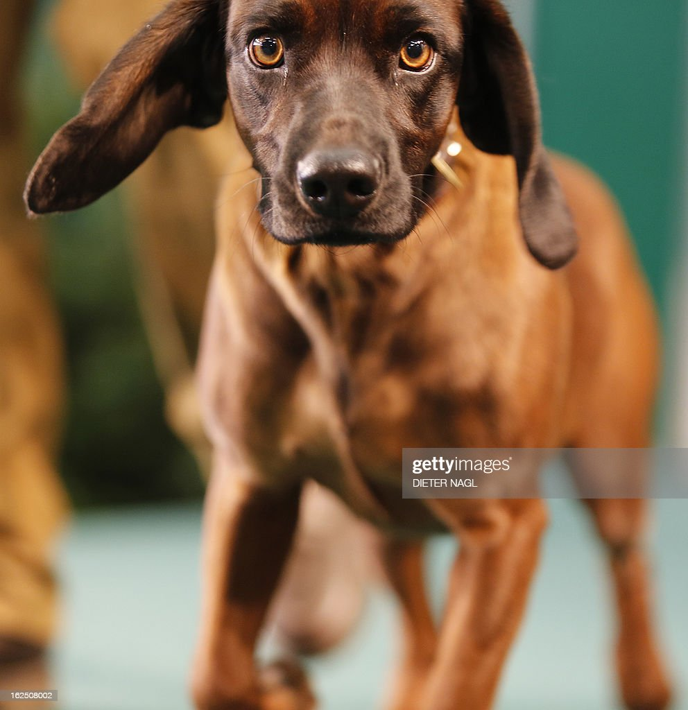 A bavarian bloodhound dog is pictured at the 'Hohe Jagd' hunting fair on February 24, 2013 in Salzburg