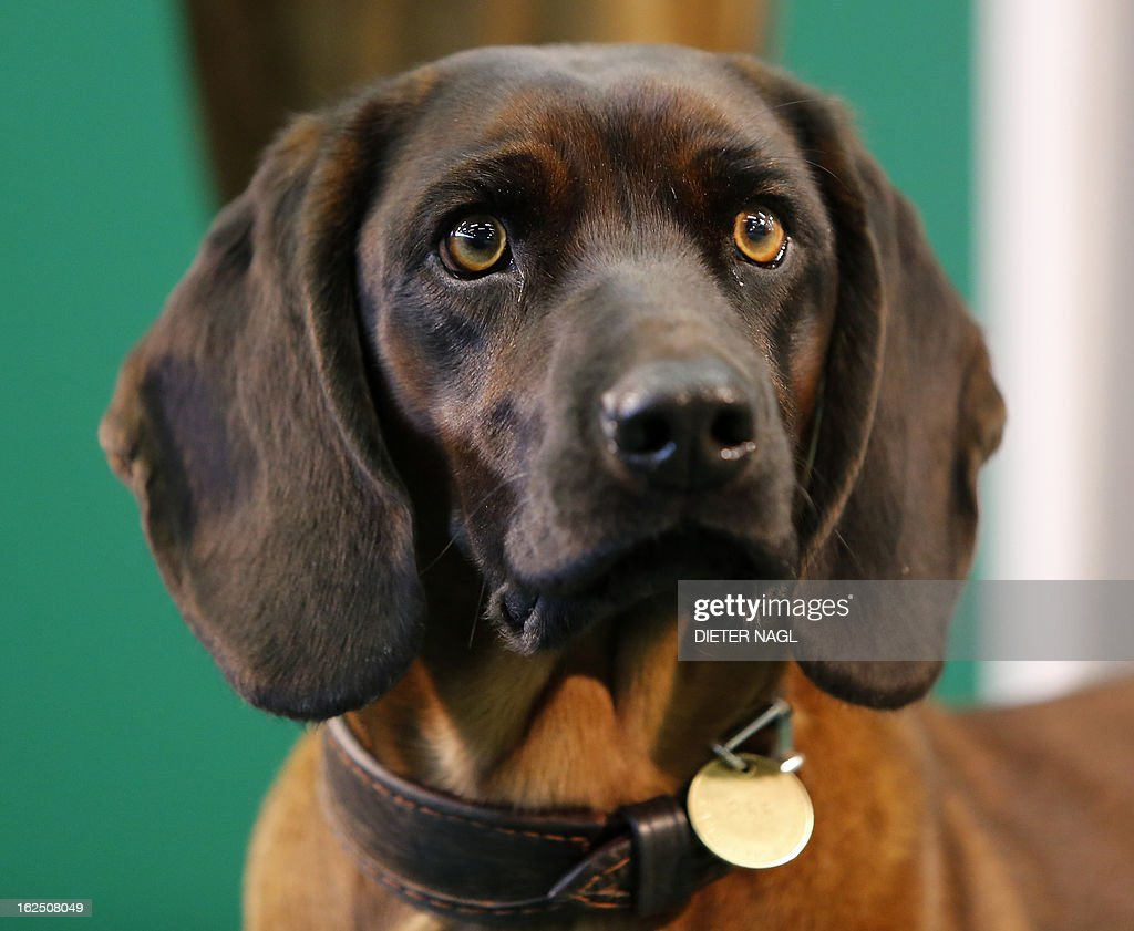 A Bavarian bloodhound is pictured at the 'Hohe Jagd' hunting fair on February 24, 2013 in Salzburg, Austria.