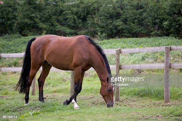 Bay horse grazing in Oxfordshire United Kingdom